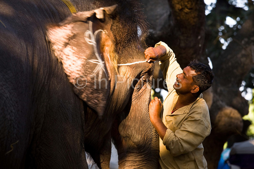 Elephant having coloured chalk painted onto his forehead and trunk by his Mahout (handler), Sonepur fair, Bihar, India