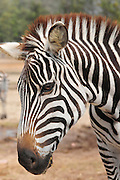 Side view of a Grevy Zebra (Equus grevyi) in captivity .