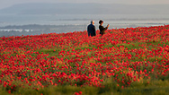 A couple take photos in a field of poppies near Goodwood, West Sussex as the sun sets.<br /> Picture date Thursday 24th June, 2021.<br /> Picture by Christopher Ison. Contact +447544 044177 chris@christopherison.com