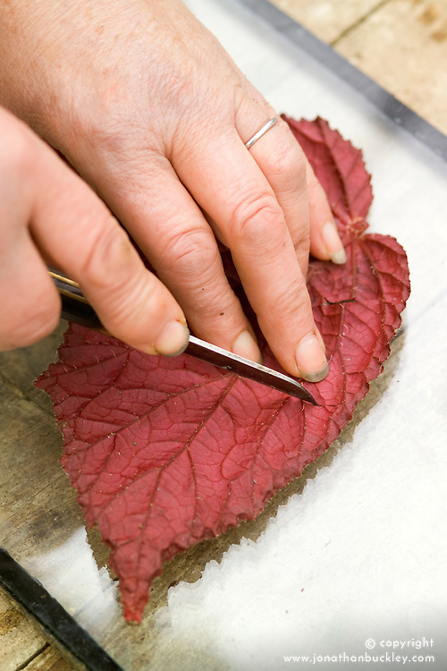Taking leaf cuttings from a begonia using the 'Leaf Slashing' method<br /> Making slits with knife
