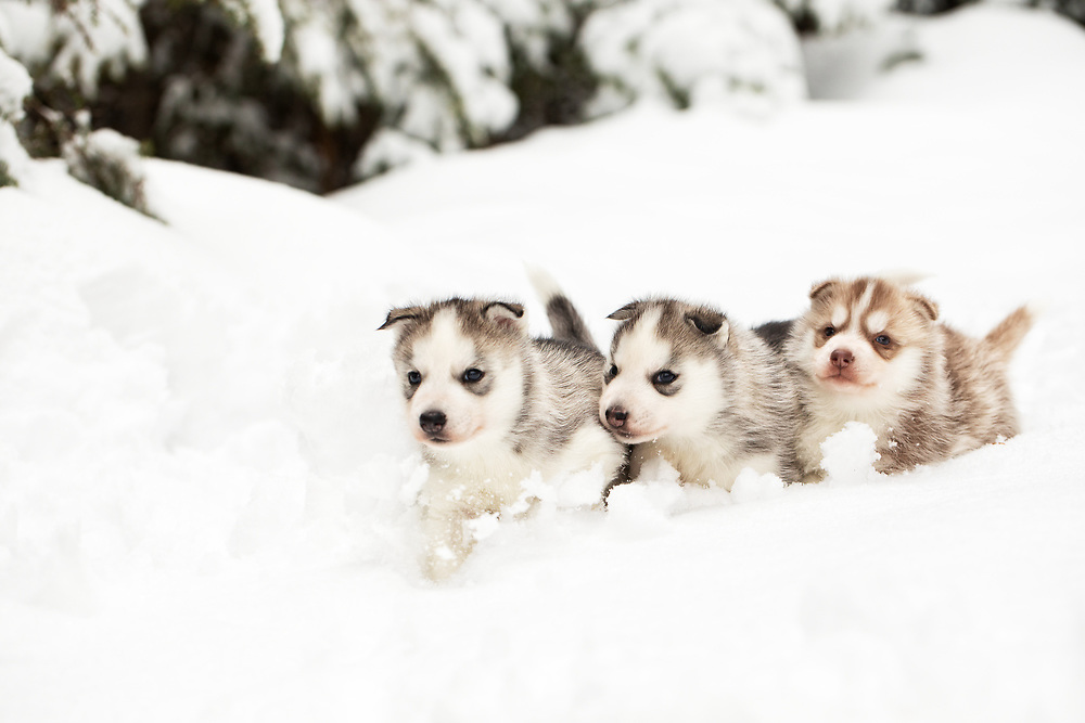 three week old Siberian Huskies running in the snow
