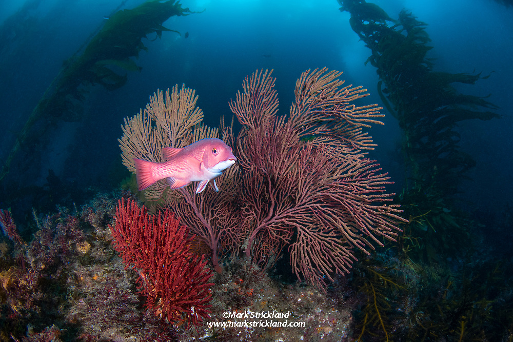 A female Pacific Sheephead, Semicossyphus pulche, swims among gorgonian corals in a forest of giant kelp, Macrocystis pyrifera. Catalina Island, California, USA, Pacific Ocean