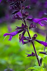 Bee on Salvia 'Amistad'