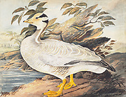 Bar-headed goose (Anser indicus). This goose is found throughout central Asia, inhabiting grassland near water. It breeds in the lakes of the Himalayan Mountains and is thought to be the highest flying bird, as it has been seen flying over Mount Everest. The bar- headed goose is a social animal, nesting in dense colonies often containing thousands of birds. It feeds on grasses and grains. 18th century watercolor painting by Elizabeth Gwillim. Lady Elizabeth Symonds Gwillim (21 April 1763 – 21 December 1807) was an artist married to Sir Henry Gwillim, Puisne Judge at the Madras high court until 1808. Lady Gwillim painted a series of about 200 watercolours of Indian birds. Produced about 20 years before John James Audubon, her work has been acclaimed for its accuracy and natural postures as they were drawn from observations of the birds in life. She also painted fishes and flowers. McGill University Library and Archives