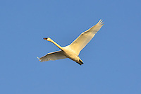 Trumpeter swan flying in the Yukon
