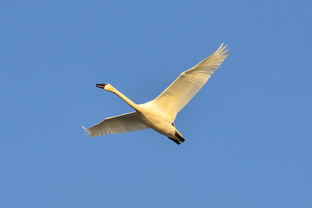 Trumpeter swan flying in the Yukon
