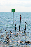 US, Florida, Key Largo. Coast outside Ocean Point Suites, Tavernier. Double-crested Cormorant.