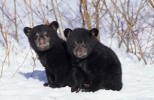 Black Bear, (Ursus americanus) Spring cubs. Montana.  Captive Animal.