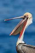 Brown Pelican in full breeding colors with open bill-closeup.(Pelecanus occidentalis).La Jolla, California