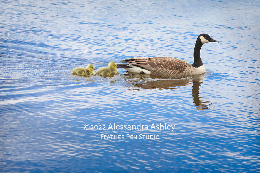 Canada goose with two young goslings swimming on Clear Fork Reservoir, central Ohio.