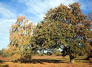 Autumn colours on heathland of the Sandlings, Shottisham, Suffolk, England