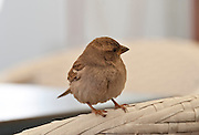 Female House Sparrow (Passer domesticus) Photographed in Israel in Spring
