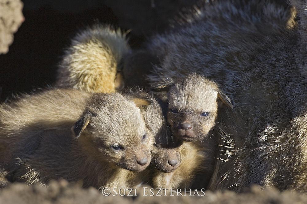 Bat-eared fox<br /> Otocyon megalotis<br /> 10 day old pup(s) <br /> Masai Mara Reserve, Kenya