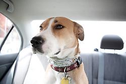 Dog Sitting in Car Back Seat