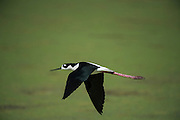 Black-necked stilt (Himantopus mexicanus)<br /> Little St Simon's Island, Barrier Islands, Georgia<br /> USA<br /> HABITAT & RANGE: Wetlands and coastlines. From California through much of the interior western United States and along the Gulf of Mexico, then south through Central America and the Caribbean to northwest Brazil southwest Peru,east Ecuador and the Galápagos Islands.