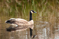 Wintertime at the southern end of Washington's Puget Sound attracts thousands upon thousands of Canada geese, such as this one in the Nisqually National Wildlife Refuge.