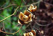 Wood Rose, Maui, Hawaii<br />