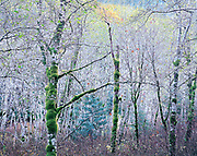 Late Autumn Forest, North Cascades