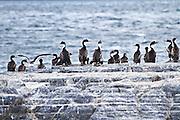 Cormorants on an island in the Beagle Channel, Ushuaia, Tierra del Fuego, Argentina