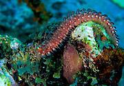 A bearded fireworm (Hermodice carunculata) on a Dominican reef