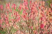 Dogwood, Cornus sanguinea, Ranscombe Farm Nature Reserve, Kent UK, red autumn colours, leaves