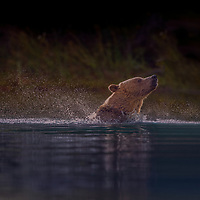 Backlite Grizzly Bear Sow shaking off water after running into the Chilko River, British Columbia, Canada.