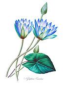 19th-century hand painted Engraving illustration of a Water lily (Nymphaea caerula) flower, by Pierre-Joseph Redoute. Published in Choix Des Plus Belles Fleurs, Paris (1827). by Redouté, Pierre Joseph, 1759-1840.; Chapuis, Jean Baptiste.; Ernest Panckoucke.; Langois, Dr.; Bessin, R.; Victor, fl. ca. 1820-1850.