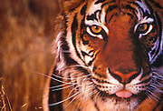 Portrait of a bengal tiger, panthera tigris tigris by Randy Wells