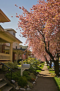 Cherry Tree Blossoms, Street and House Scene, West Reading, PA, Safe Neighborhood
