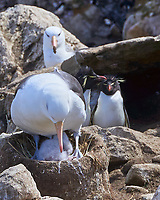 Black-browed Albatross (Thalassarche melanophris), Southern Rockhopper Penguin (Eudyptes chrysocome). Image taken with a Leica T camera and 18-56 mm lens.