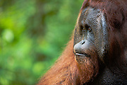 A close-up of the side view of a dominant male orangutan ( Pongo pygmaeus ) with large flanges, Borneo, Indonesia