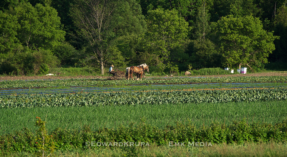 Amish man tilling a field being pulled by plow horses.