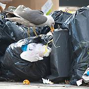 Nederland Rotterdam 18-05-2009 20090518 Foto: David Rozing ..Opengescheurde vuilniszakken probleemwijk Afrikaanderbuurt, Afrikaanderwijk.  Meeuwen eten van afval uit de zakken..Foto: David Rozing
