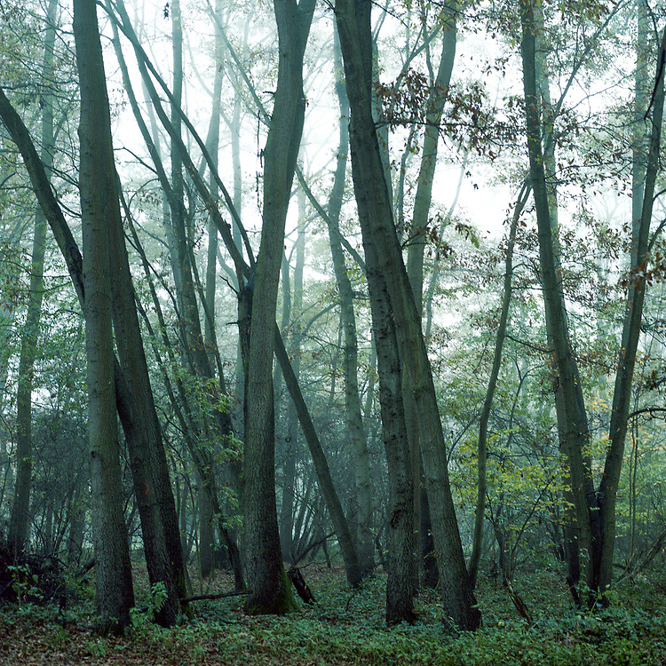 Woodland Mist, Thornham Walks, Suffolk, 2010