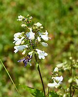 Beardtongue and Bee. Image taken with a Leica CL camera and 60 mm f/2.8 lens