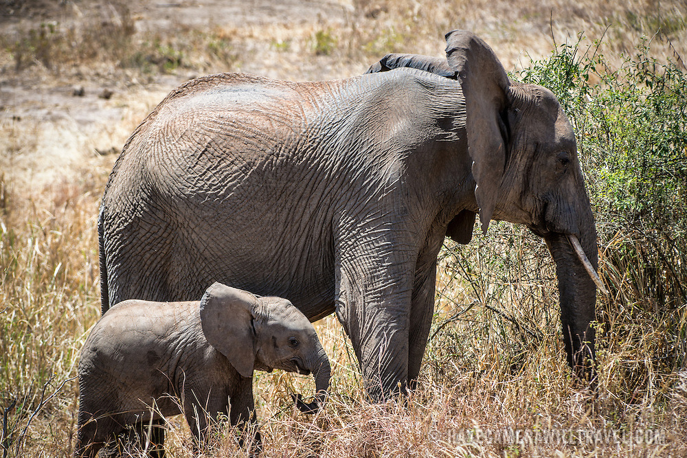 A baby elephant with its mother at Tarangire National Park in northern Tanzania not far from Ngorongoro Crater and the Serengeti.