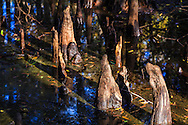 Sunlit cypress knees protrude from the stream bed in Fisheating Creek in Florida's Fisheating Creek Wildlife Management Area (WMA). WATERMARKS WILL NOT APPEAR ON PRINTS OR LICENSED IMAGES.