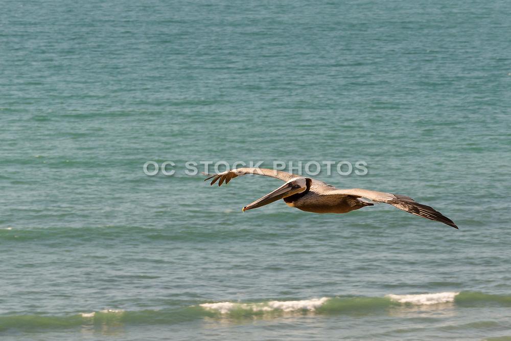 Brown Pelican Flying Over The Pacific Ocean