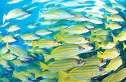 Blue striped snapper (Lutjanus kasmira) schooling, South Ari Atoll, Maldives