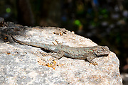 A male ornate tree lizard (Urosaurus ornatus) suns itself on a rock in a lush area near Montezuma Well in Montezuma Castle National Monument, Arizona.