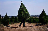 Fabio Iuele busy at work at North Pole Christmas Tree Farm as Christmas draws nearer Pic By Craig Sillitoe...coniferous, trees, carries, carry, carrying melbourne photographers, commercial photographers, industrial photographers, corporate photographer, architectural photographers, This photograph can be used for non commercial uses with attribution. Credit: Craig Sillitoe Photography / http://www.csillitoe.com<br /> <br /> It is protected under the Creative Commons Attribution-NonCommercial-ShareAlike 4.0 International License. To view a copy of this license, visit http://creativecommons.org/licenses/by-nc-sa/4.0/. This photograph can be used for non commercial uses with attribution. Credit: Craig Sillitoe Photography / http://www.csillitoe.com<br /> <br /> It is protected under the Creative Commons Attribution-NonCommercial-ShareAlike 4.0 International License. To view a copy of this license, visit http://creativecommons.org/licenses/by-nc-sa/4.0/.