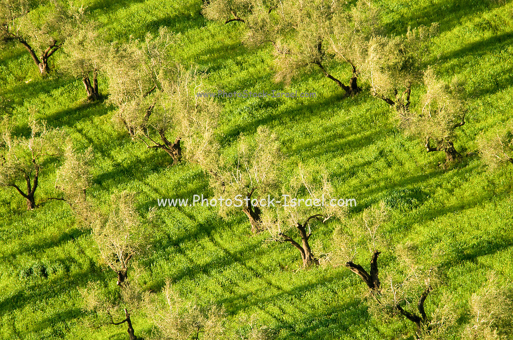 Israel, West Bank, Samaria, Dotan Valley, Agricultural fields Olive tree plantation
