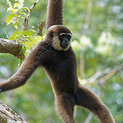 Bornean white-bearded gibbon<br /> (Hylobates albibarbis) Camp Leakey,  Tanjung Puting National Park. Borneo
