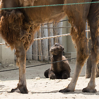 Five days old Bactrian camel (Camelus bactrianus) baby is seen with an adult Camel in Budapest Zoo in Budapest, Hungary on June 3, 2020. ATTILA VOLGYI