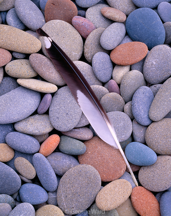 Primary Flight Feather of California Gull on Beach Stones, Olympic National Park, Washington