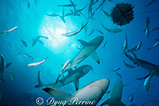 blacktip sharks, Carcharhinus limbatus, and Caribbean reef sharks, Carcharhinus perezi, circle the chumsicle at Shark Rodeo, Walker's Cay, Abaco Islands, Bahamas ( Western Atlantic Ocean )