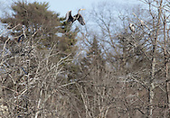 Goshen, New York - Great Blue Herons (Ardea herodias) at their nests in a wetland on March 27, 2011.