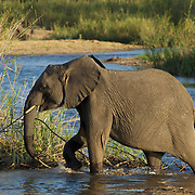 African elephant crossing the Sand River. MalaMala Game Reserve. South Africa.