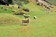 New Zealand North Island, sheep grazing in a meadow