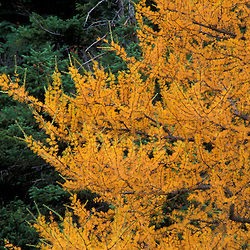 Chimney Pond Trail, Baxter S.P., ME.Eastern Larch trees larix laricina, in fall.